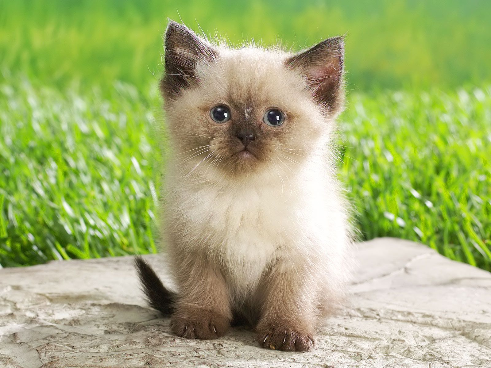 Siamese cat time (hora del gato siamés)