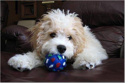 More Cavachon Puppy Owner Reviews Foxglove Farm Cavachon