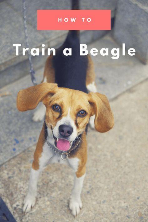 How to Train a Beagle Dog training obedience, Beagle