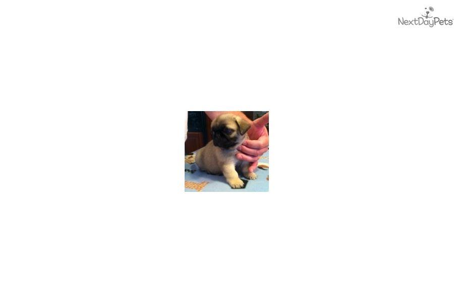 Pug Puppy For Sale Near Kansas City Missouri 362ff333 8091