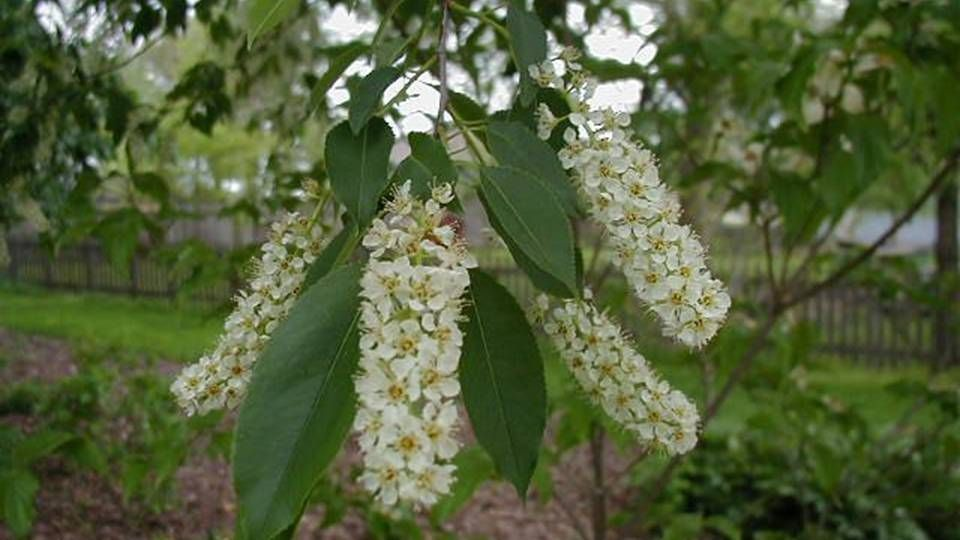 The Immortality Fruit Cherry Magical Properties And Uses Black Cherry Tree Black Cherry Magical
