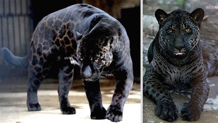 It's a panther and a leopard hybrid I'm guessing<<<<<