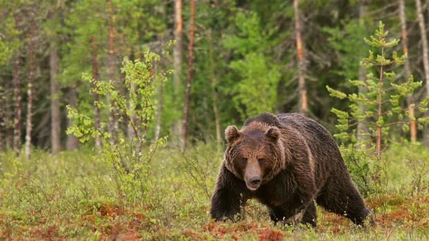 Limited Gene Flow Among Brown Bears In Northern Europe Sciencenordic Bear Brown Bear Northern