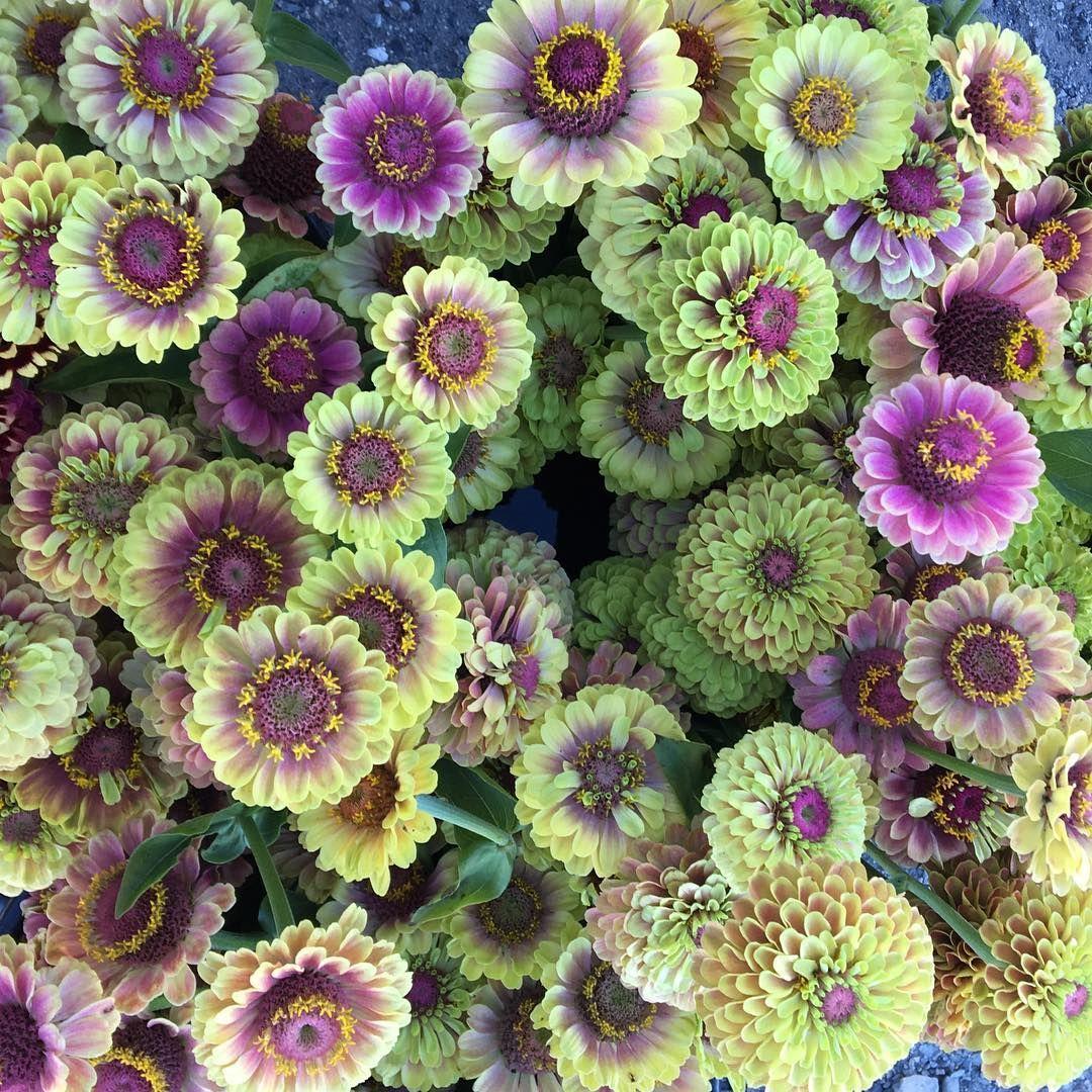 Magic flowers from @junesblooms garden. This is Zinnia ...