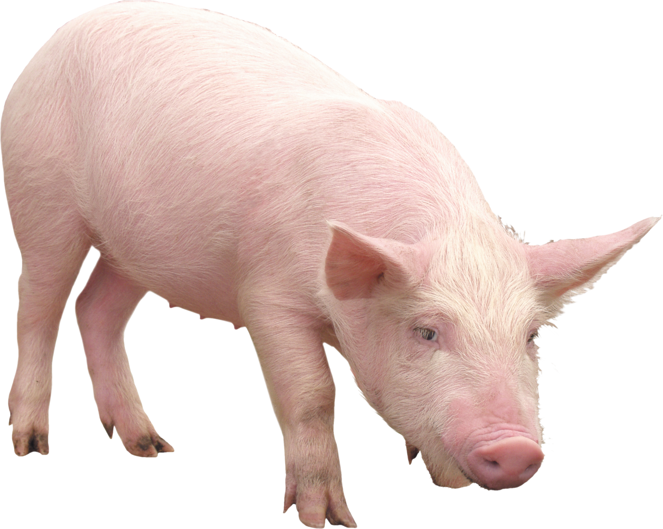 Pink Pig Png Image Pig Png Pig Cute Funny Animals