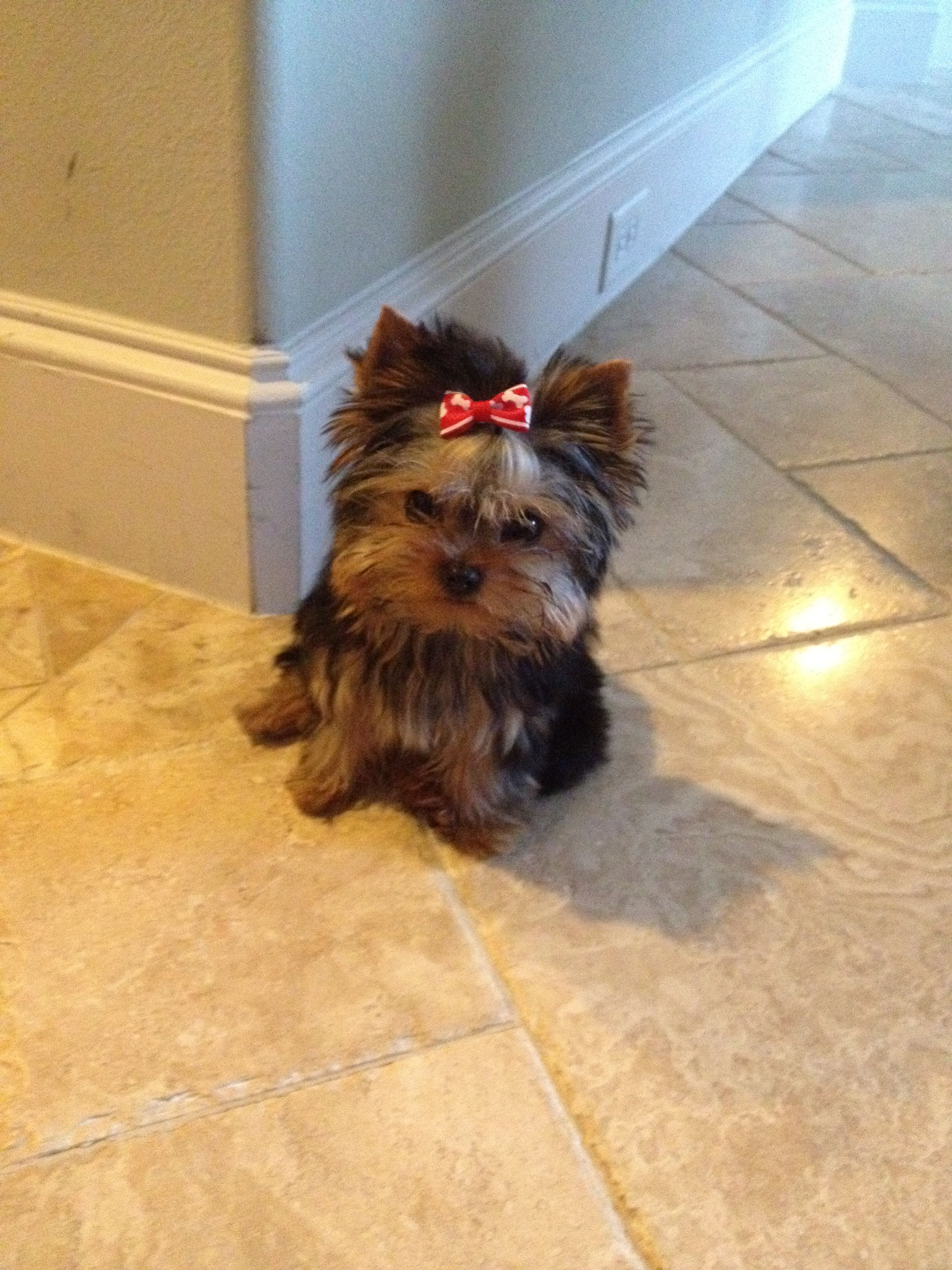 Teacup Yorkie- One Christmas Day I WILL wake up to another one of these
