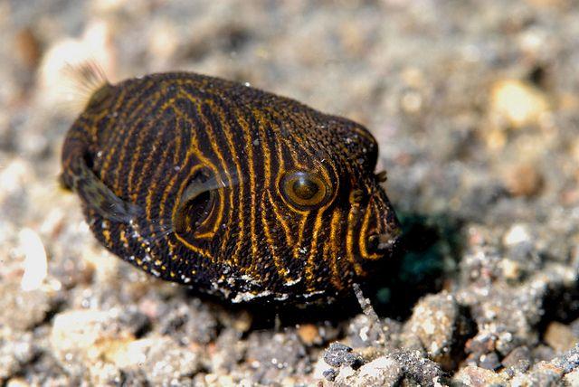 Pin On Pufferfish