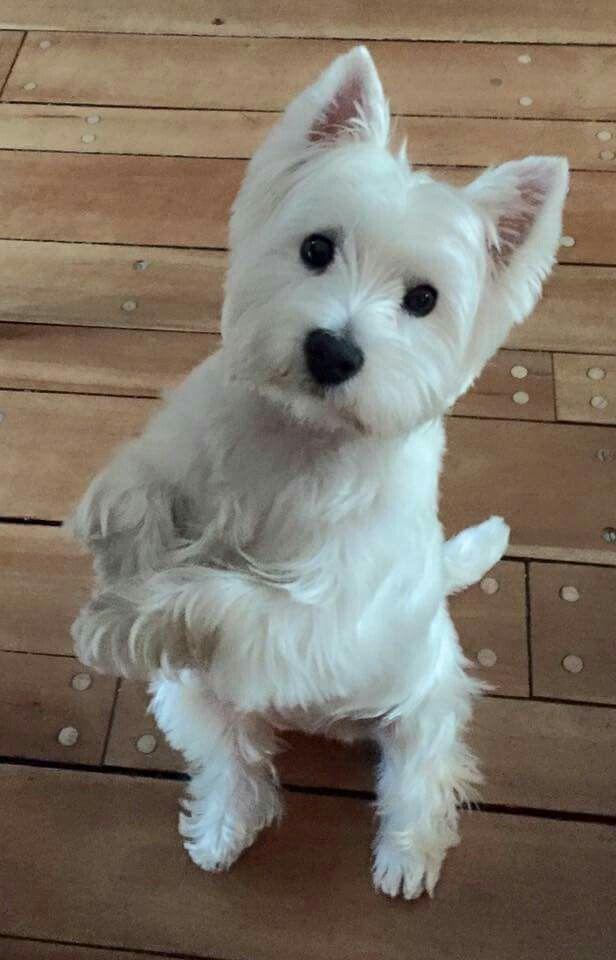 Westie Warriors On Facebook West Highland White Terrier
