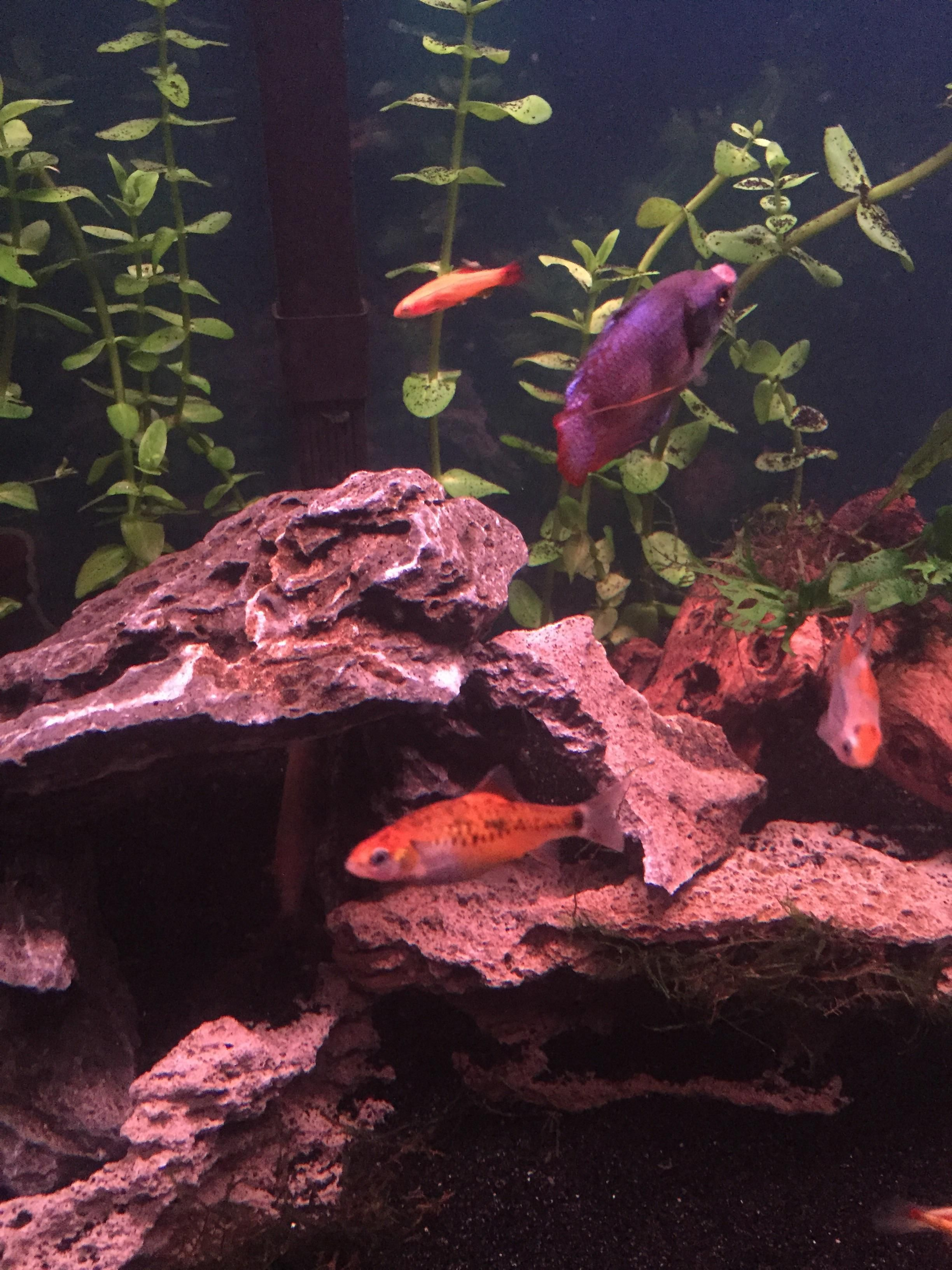 Gourami has a sore on his nose that's not healing and now loaches are sucking on it. Should I make a quarantine tank? Is this contagious?