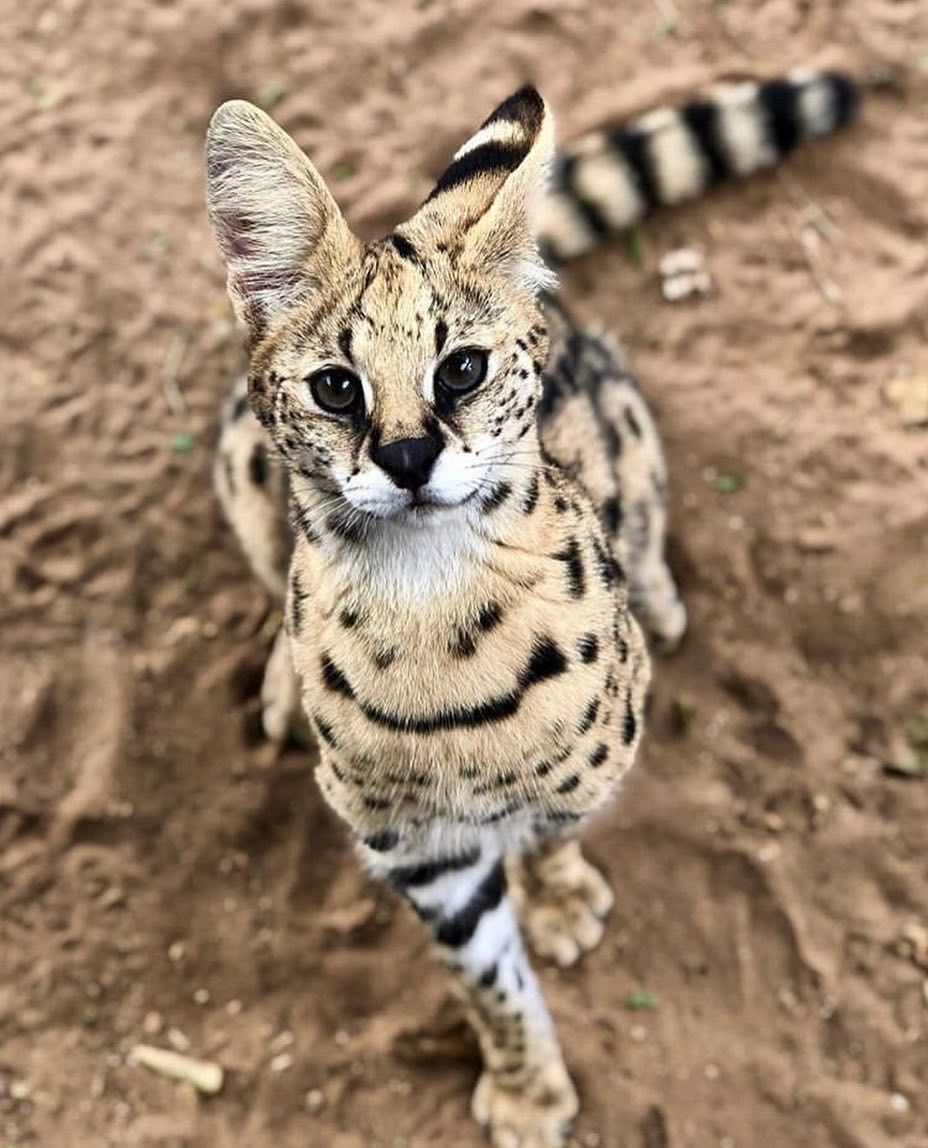 """The serval is sometimes called """"the cat of spare parts"""" because of it's  unusual appearanc 