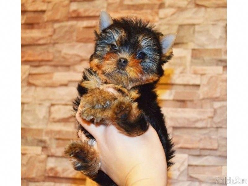 Yorkshire Terrier Puppies Very Tender And Small York Puppies