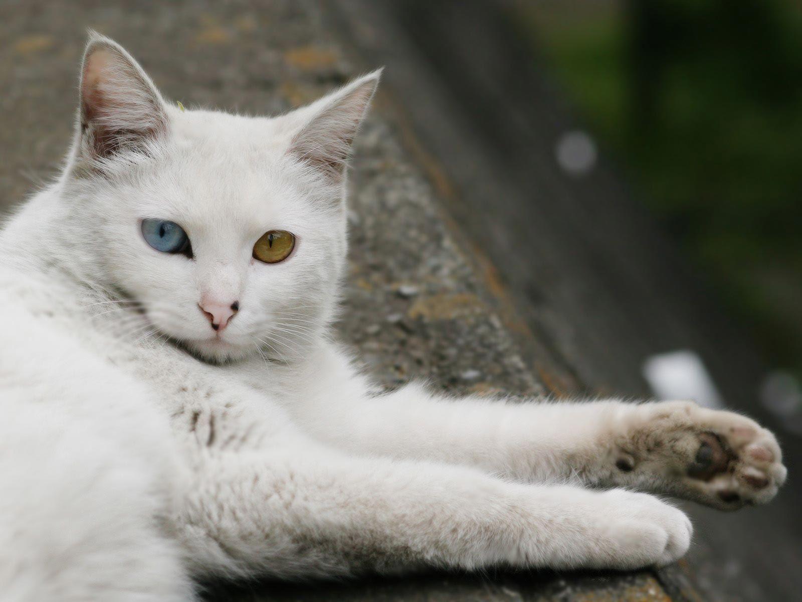 Turkish Angora The Life Of Animals Gatti