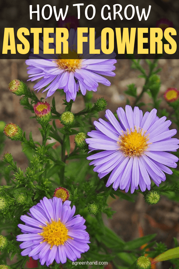 Aster How To Grow This Gardening Favorite Gardening Tips September Flowers Growing Flowers