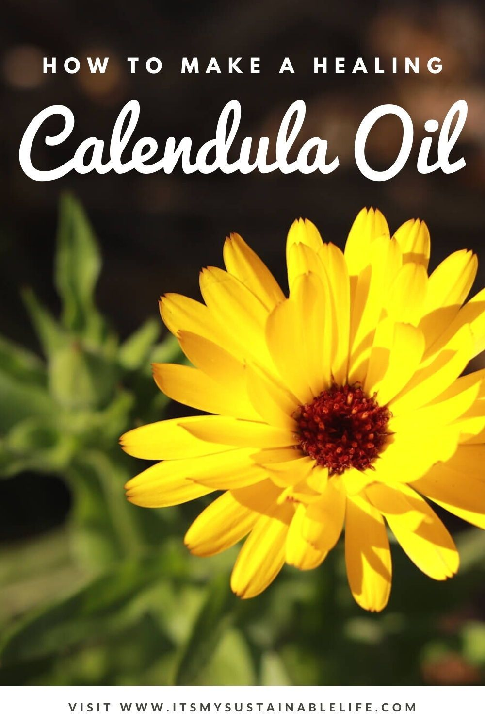 How To Make & Use Calendula Oil in 2020 Calendula oil