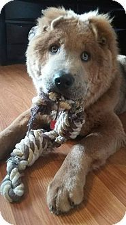 Tillsonburg On Shar Pei Chow Chow Mix Meet Ozzie A Dog For