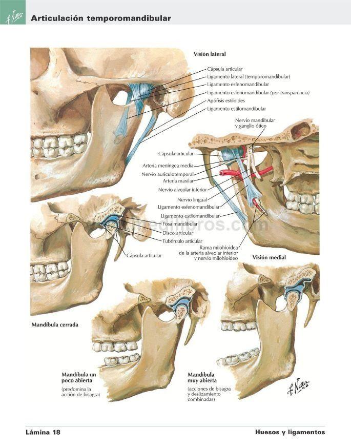 atlas-de-anatomia-humana-de-netter-6ta-edicion-pdf-hd-D_NQ_NP_557021 ...