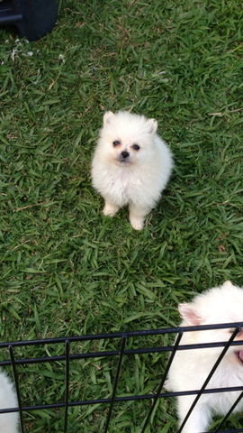 Purebred Pomeranian Puppies For Sale Adoption From Sunshine Coast Queensland Bri Adoption Bri Coast In 2020 Pomeranian Puppy For Sale Puppies Pomeranian Puppy