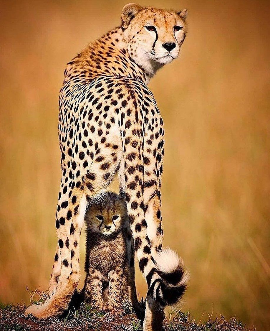 "OUR DAILY on Instagram ""Cheetah with its little"