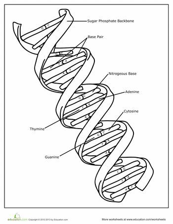 DNA Coloring Page   DNA, Worksheets and Genetics