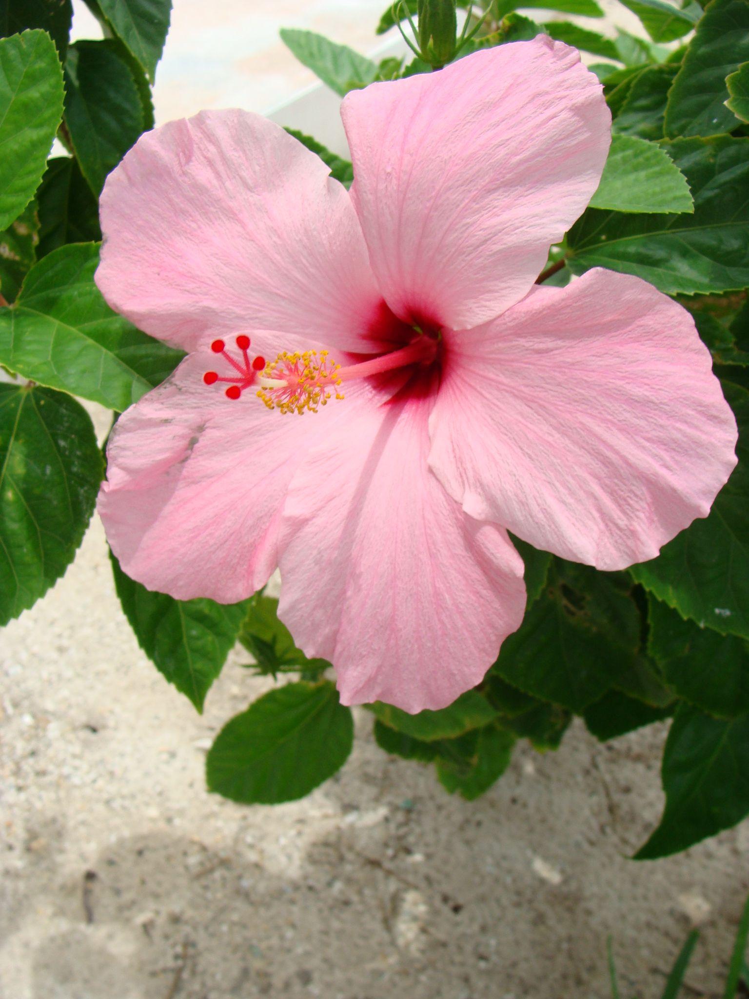 Hibiscus In My Yard Villa Anna Spanish Wells Bahamas Vacation