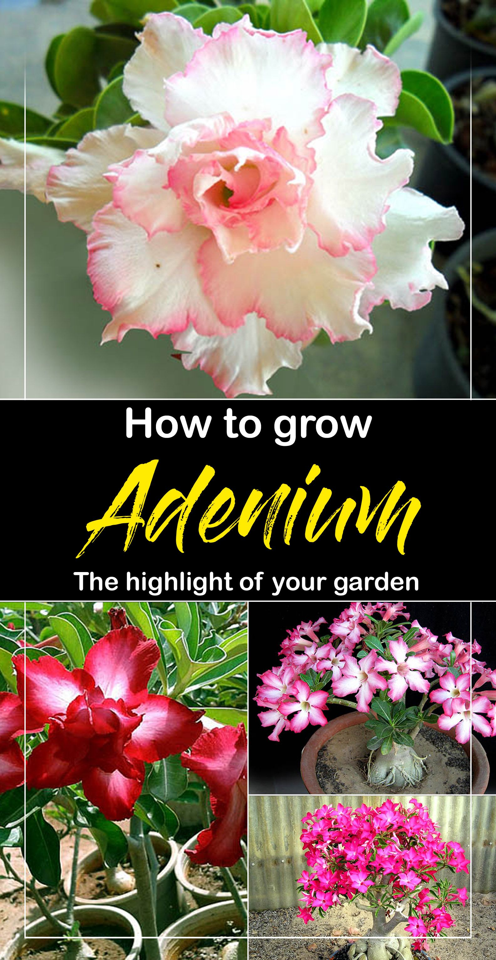 Adenium Flowering Plants That Are Grown In A Container Its Flowers
