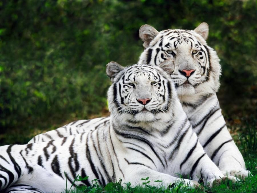 Valkoinen tiikeri