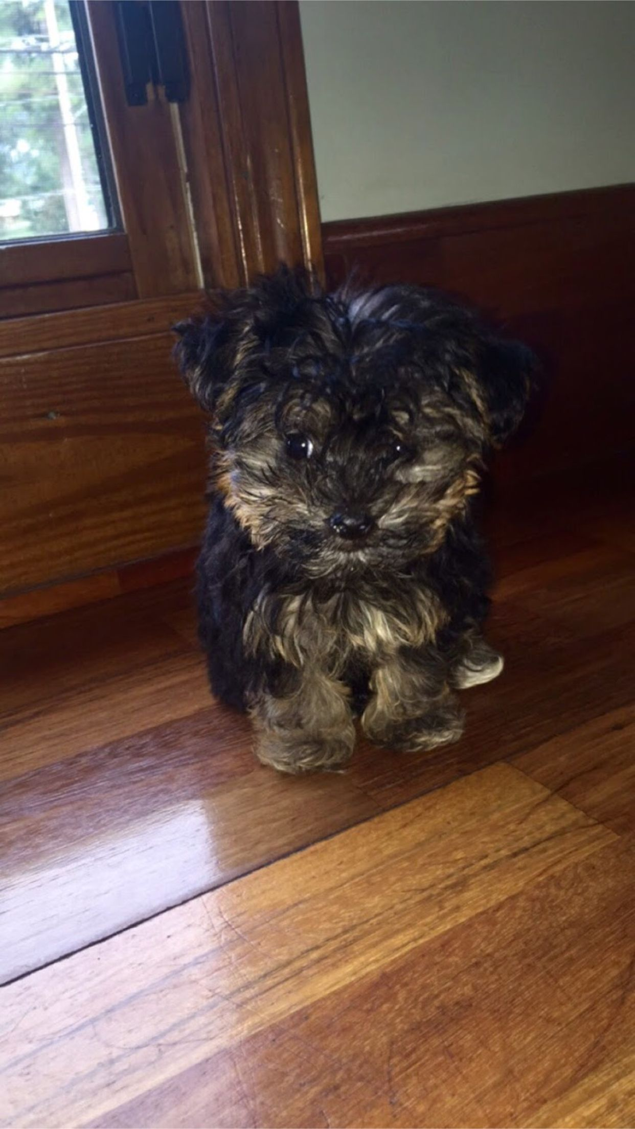 My Yorkie Poo Puppy Ruby 1 5 Pounds At 3 Months Old Yorkie Poo Yorkie Yorkie Poo Puppies