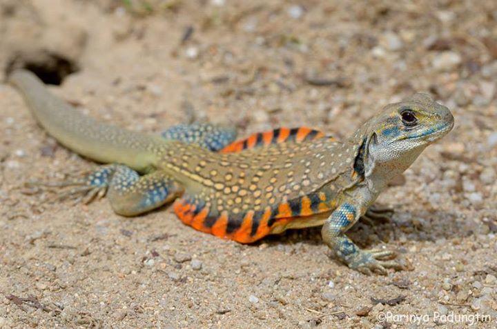 Image Result For Leiolepis Belliana トカゲ 両生類 爬虫類