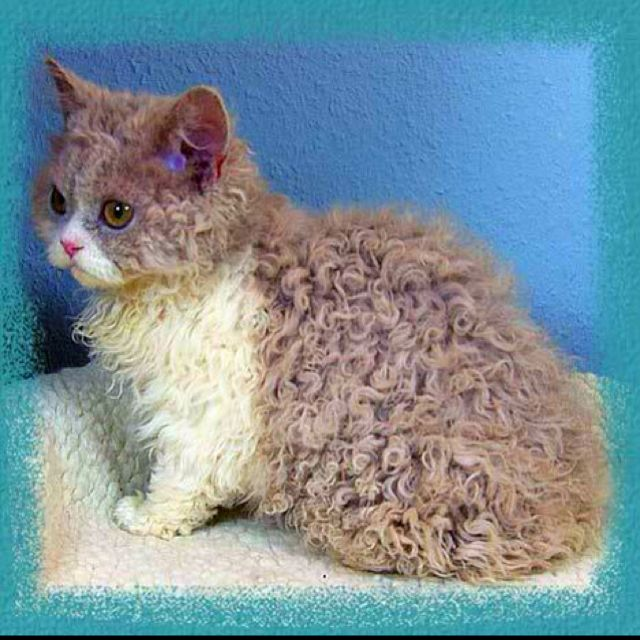 Pin By Rebecca Clark On Buddies Cat Allergies Cat Breeds Fluffy Cat Breeds