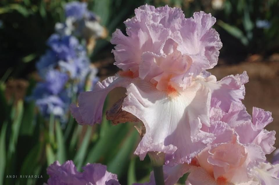 from  The American Iris Society