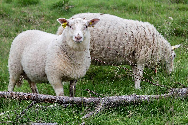 A young ram sheep