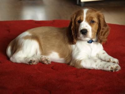 Your Springer Spaniel Pictures Section 1 Springer Spaniel Puppies Welsh Springer Spaniel Puppies Springer Spaniel
