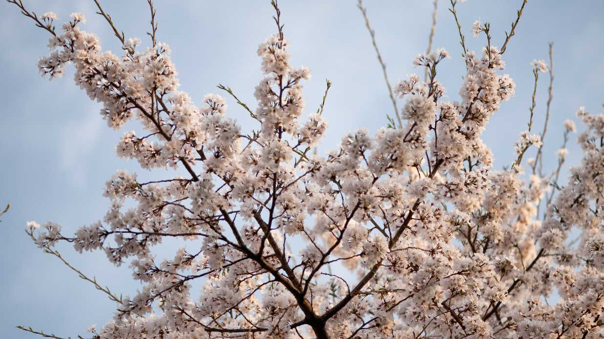 Where Can We Grow Cherry Trees In The South Growing Cherry Trees Yoshino Cherry Tree Yoshino Cherry
