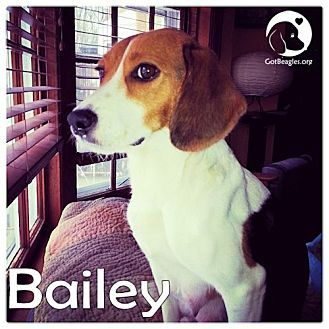 Pittsburgh Pa Beagle Meet Bailey A Dog For Adoption Http