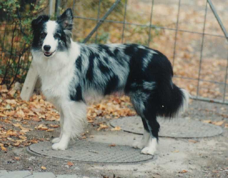 Most Up To Date Photo Border Collies Mirlo Suggestions The Edge