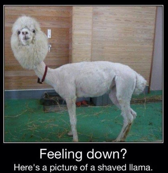 Alpaca Llama Pictures Alpaca Funny