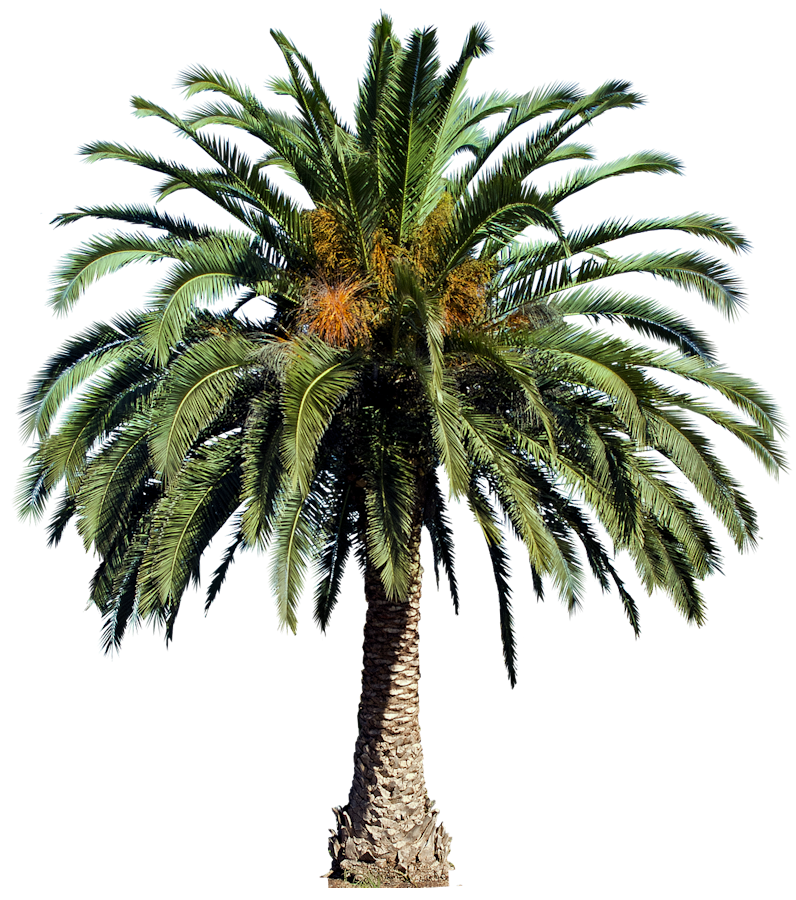 Interior Rendering Landscape Art Palm Trees Photoshop Date Palms Canary Islands Plant Pictures Tropical Plants T Tree Photoshop Tree Psd Palm Tree Png