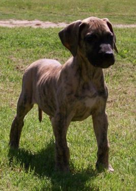 Ready Akc Great Dane Puppies Brindle Males Health Guarantee