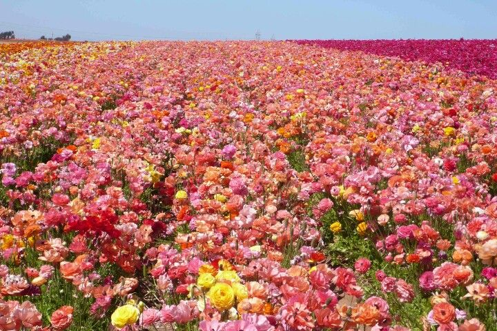 Giant Ranunuculas In Bloom At Carlsbad Flower Field Carlsbad Flower Fields Garden Images Ranunculus Flowers