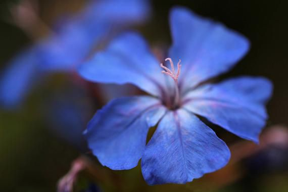 Forest Blue, Flower Macro Photography, Digital Download, Nature Lover, Screensaver, Printable Art, W