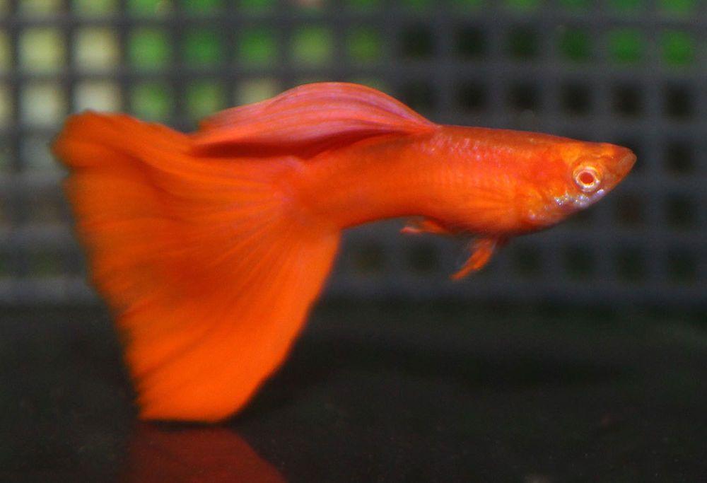 10 Fry Rrea Guppy Real Red Eye Albino Fancy Guppy Ebay Guppy Fish Fish For Sale Live Aquarium Fish