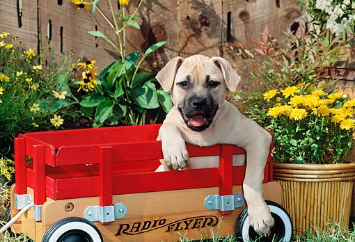 PUP 14 CE0077 01 © Kimball Stock American Pit Bull Terrier Puppy Sitting In Wagon By Flowers