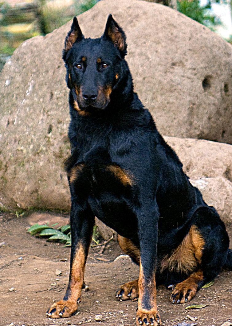 Harlequin Beauceron Beauce Shepherd Chien Berger De Beauce Dogs Puppy Beauceron Dog Breeds Doberman Dogs