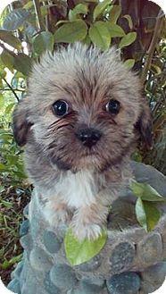 Phoenix Az Shih Tzu Silky Terrier Mix Meet Tabatha A Puppy For Adoption Puppy Adoption Kitten Adoption Pets