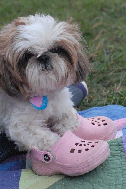Bella Shoes Shitzu Dogs Dog Best Friend Shih Tzu Lover