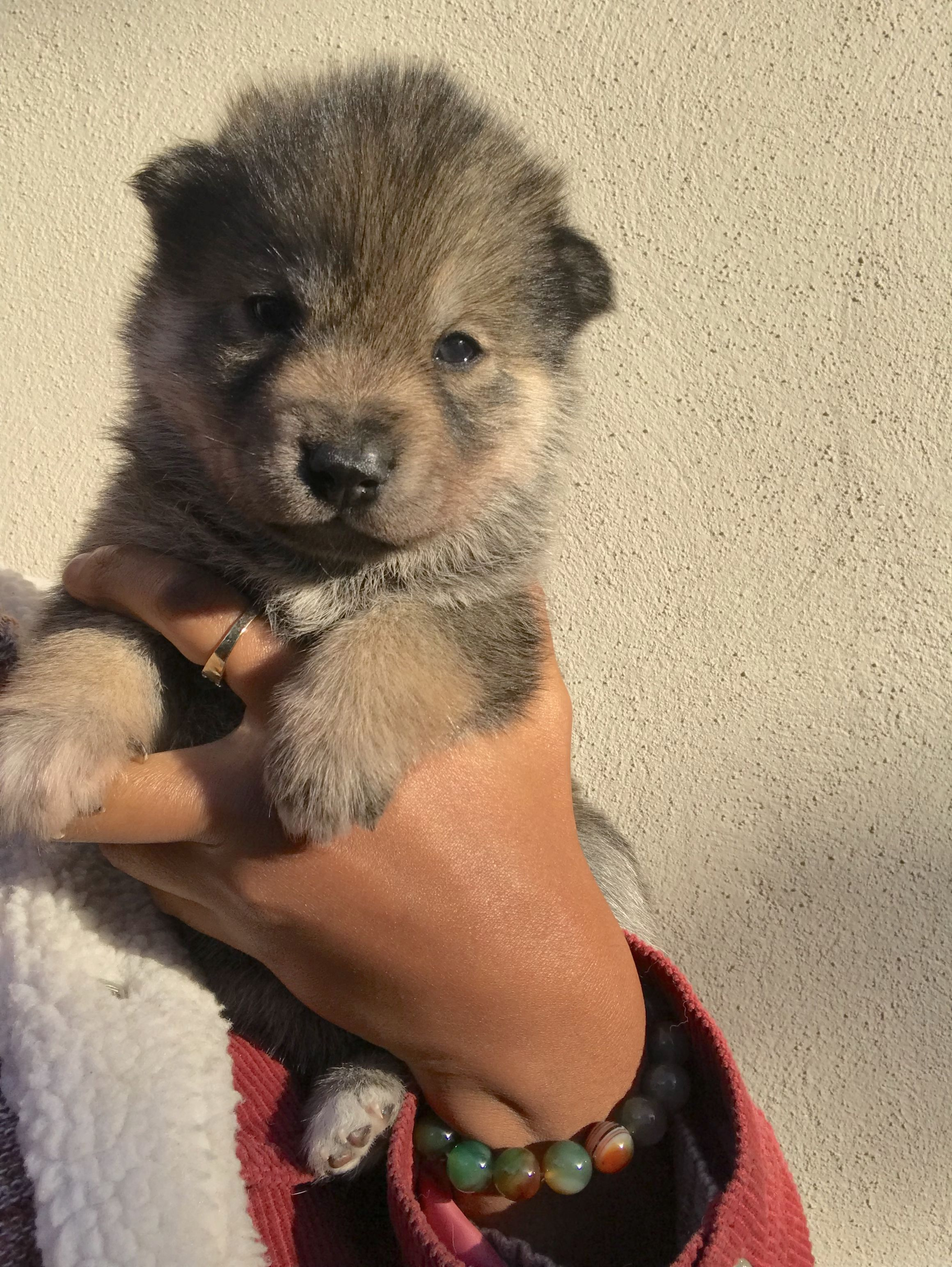 Kodak A Female Wolamute Puppy For Sale In Oakland California Find Cute Wolamute Puppies And Breeders At Vippupp Baby Animals Funny Puppies Puppies For Sale