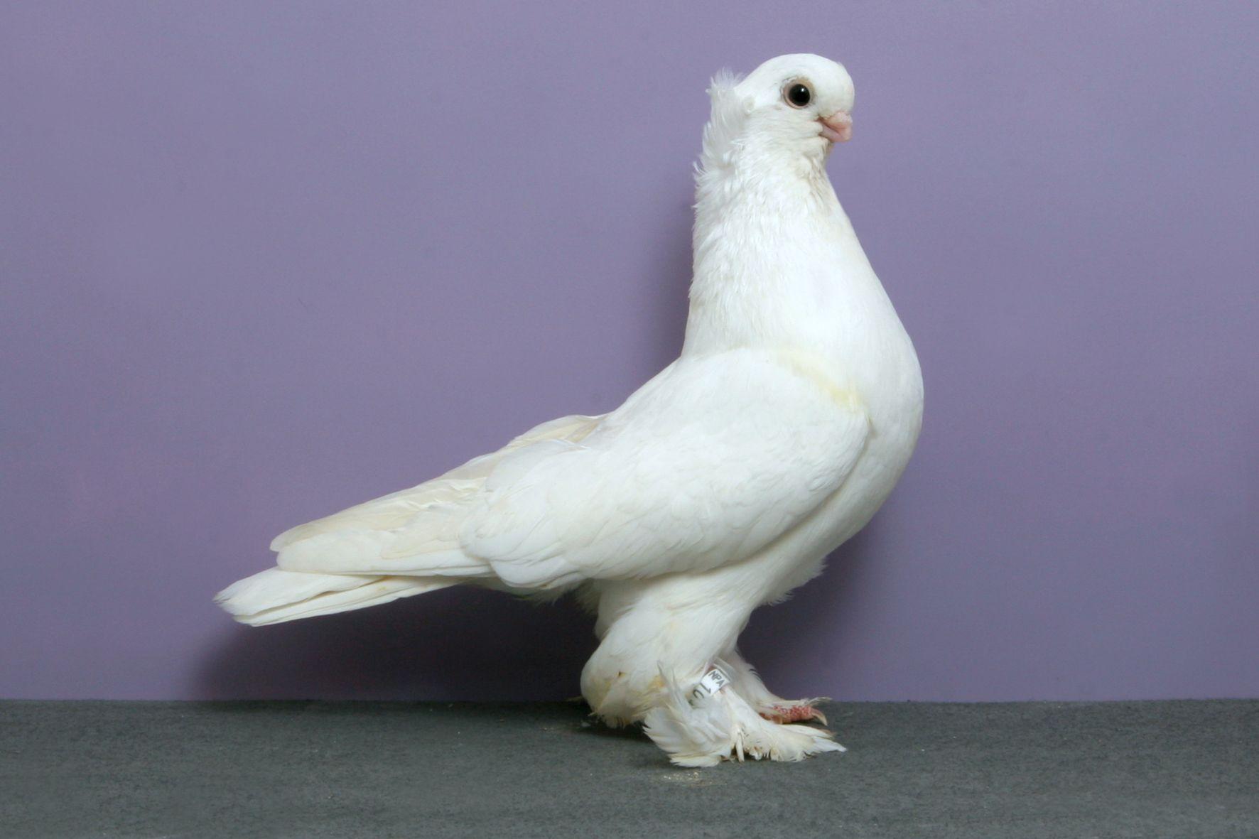 Royal Snow Tumbler Pigeon Beautiful Birds Bird Feathers
