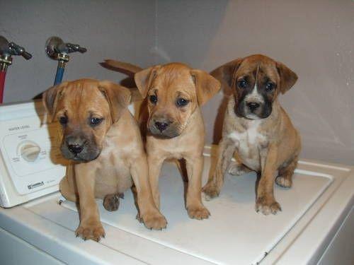 Boxer Lab Mix Boxador Labrador Retriever Boxer Mix Puppies 200 8wks Old In Covina Boxer Mix Puppies Boxer Mix Dogs And Puppies