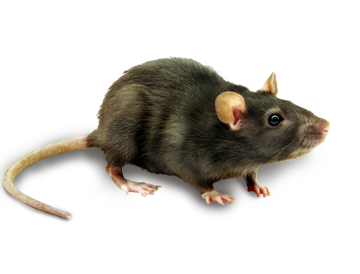 Ratice Are A Very Serious Problem To Have Around Your Home Or Business