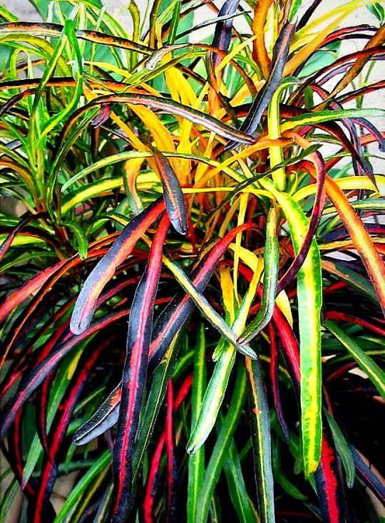Croton zanzibar bloemen pinterest plantas d as for Viveros en colina